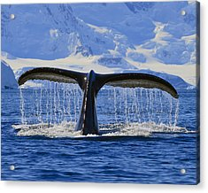 Tails From Antarctica Acrylic Print