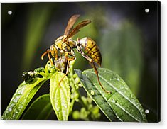 Taiwan Hornet Feeding On A Caterpillar Acrylic Print by Science Photo Library