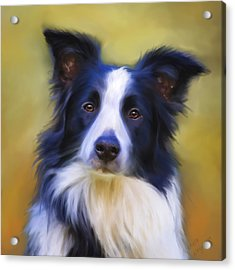 Beautiful Border Collie Portrait Acrylic Print by Michelle Wrighton
