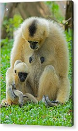 Taking Care Of Junior Acrylic Print by Ashley Vincent
