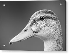 Talk Like A Duck Acrylic Print