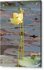 Tall And Golden Acrylic Print by Rosalie Scanlon