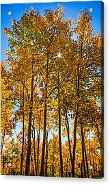 Tall Aspen With Sunstar Acrylic Print