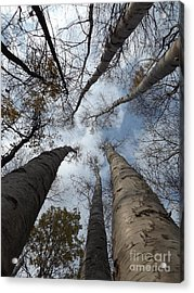 Tall Birch Circle Acrylic Print