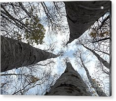 Tall Birches Acrylic Print