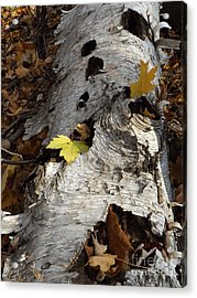 Tall Fallen Birch With Leaves Acrylic Print
