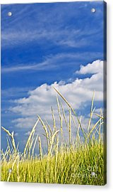 Tall Grass On Sand Dunes Acrylic Print by Elena Elisseeva