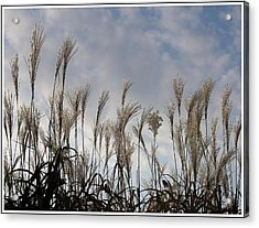 Tall Grasses And Blue Skies Acrylic Print