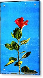Tall Hibiscus - Flower Art By Sharon Cummings Acrylic Print by Sharon Cummings