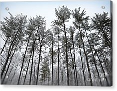 Tall Snow Covered Trees Acrylic Print by Sharon Dominick