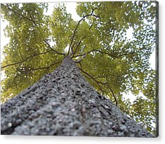 Tall Tree Acrylic Print by Jenna Mengersen