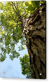 Tall Tree Acrylic Print by Stephanie Grooms