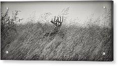 Tallgrass Whitetail Acrylic Print