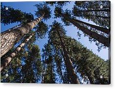 Talls Trees Yosemite National Park Acrylic Print