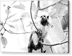 Tamarin Acrylic Print by Andy Fung
