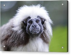 Acrylic Print featuring the photograph Tamarins Face by Shoal Hollingsworth