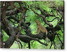 Tanzania African Lioness Rests On Tree Acrylic Print