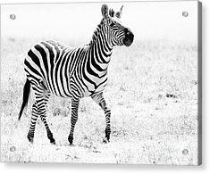 Tanzania Zebra Acrylic Print