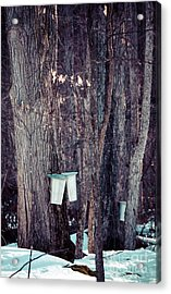 Tapped Maples Acrylic Print by Cheryl Baxter