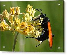 Tarantula Hawk Wasp Acrylic Print