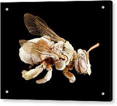 Tarsalia Bee Acrylic Print by Us Geological Survey