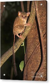 Acrylic Print featuring the photograph Tarsius Tarsier  by Sergey Lukashin