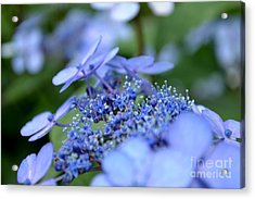 Acrylic Print featuring the photograph Taube Lacecap Hydrangea by Scott Lyons