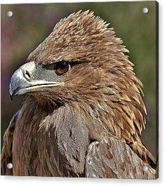 Tawny Eagle Up Close Acrylic Print by Paulette Thomas