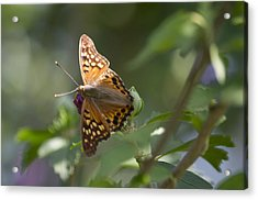 Tawny Emperor On Hibiscus Acrylic Print by Shelly Gunderson