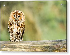 Tawny Owl Acrylic Print by George Cox