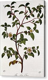 Tea Branch Of Camellia Sinensis Acrylic Print by Anonymous