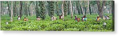 Tea Harvesting, Assam, India Acrylic Print by Panoramic Images