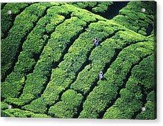Tea Pickers, Munar, Kerala, India Acrylic Print