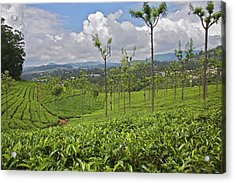 Tea Plants (camellia Sinensis Acrylic Print by Connie Bransilver