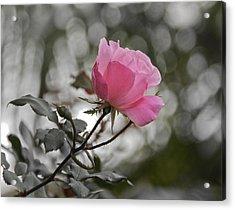 Tea Rose Acrylic Print