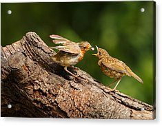 Tea Time For Robins Acrylic Print
