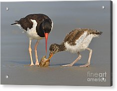 Acrylic Print featuring the photograph Teaching The Young by Jerry Fornarotto