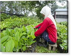 Teak Planting, Malaysia Acrylic Print by Science Photo Library