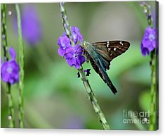 Teal Long Tailed Skipper Butterfly Acrylic Print by Sabrina L Ryan