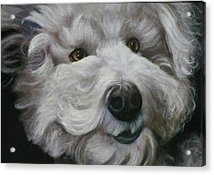 Acrylic Print featuring the painting Teddy The Bichon by Melinda Saminski