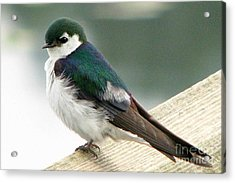 Violet-green Swallow Acrylic Print