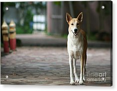 Acrylic Print featuring the photograph Temple Dog by Nola Lee Kelsey