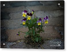 Tenacity Comes In Small Packages Acrylic Print by The Stone Age