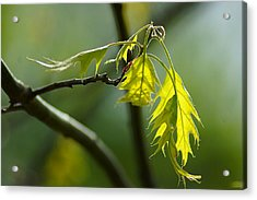 Tender Oak Leaves Emerge Acrylic Print by Beth Akerman