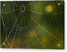 Tender Web Acrylic Print by Christina Rollo