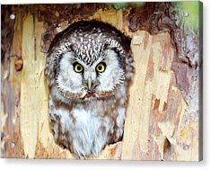 Tengmalm's Owl Acrylic Print by Dr P. Marazzi