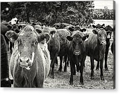 Tennessee Cattle Acrylic Print by Jon Woodhams