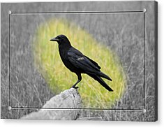 Tennessee Crow Acrylic Print by Robert Clayton