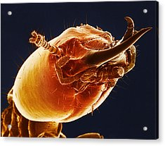 Termite Soldier, Sem Acrylic Print by Science Source