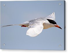 Tern Bird Acrylic Print by Diane Rada
